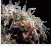 Червеобразные улитки семейства Vermetidae