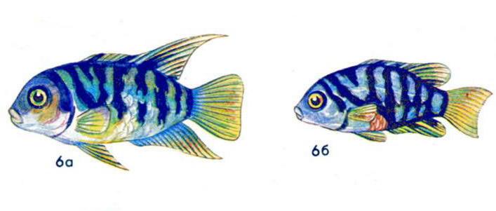 Цихлазома чернополосая (а — самец, б — самка)