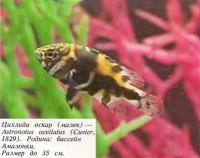 Цихлида оскар (малек)