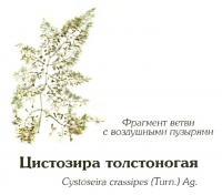 Цистозира толстоногая (фрагмент)
