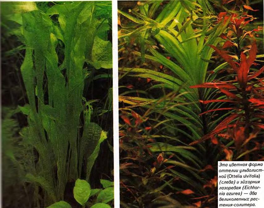 Это изображение товара растение для аквариума barbus эхинодорус, шелковое, высота 10 см plant 044/10 из