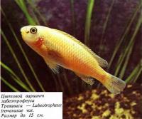 Цветовой вариант лабеотрофеуса Треваваса