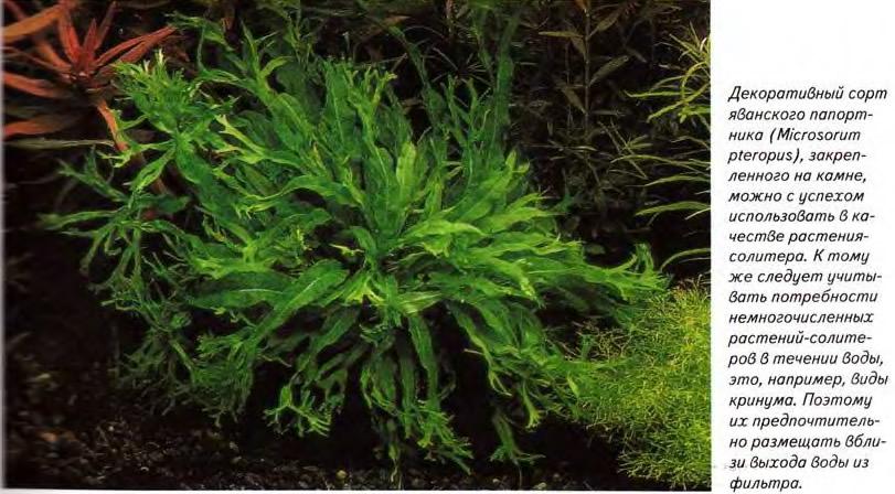 Декоративный сорт яванского папортника (Microsorum pteropus)