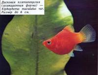 Дисковая плятипецилия (селекционная форма)