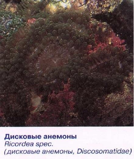 Дисковые анемоны