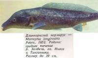Длиннорылый мормирус