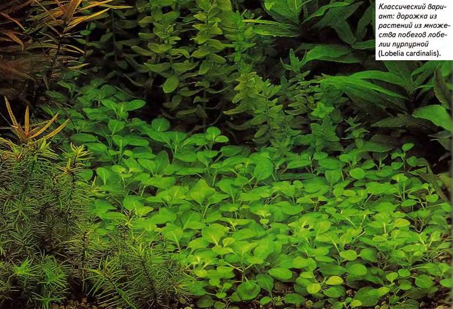 Дорожка из растений из множества побегов лобелии пурпурной