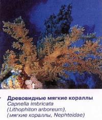 Древовидные мягкие кораллы