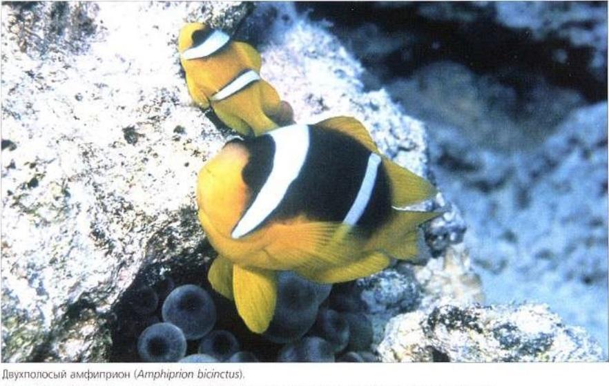 Двухполосный амфиприон (Amphiprion bicinctus)