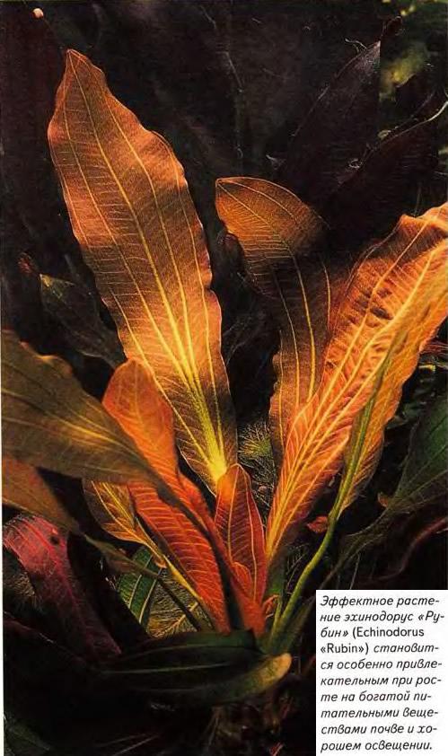Эффектное растение эхинодорус «Рубин» (Echinodorus «Rubin»)