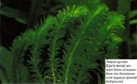 Эгерия густая (Egeria densa)