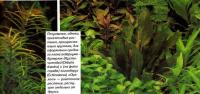 Эхинодорус (Echinodorus) «Оцелот»
