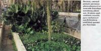 Эхинодорусы сердцелистные (Echinodorus cordifolius)