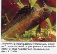 Emblemaria pardionis хорошо подходит для наноаквариума