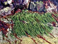 Энтероморфа решетчатая в среде обитания