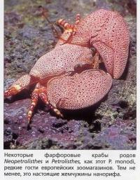 Фарфоровый краб N. monodi рода Neopetrolisthes