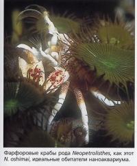 Фарфоровый краб N. oshimai рода Neopetrolisthes