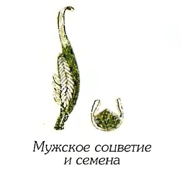 Филлоспадикс иватенский (фрагменты)