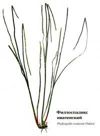 Филлоспадикс иватенский