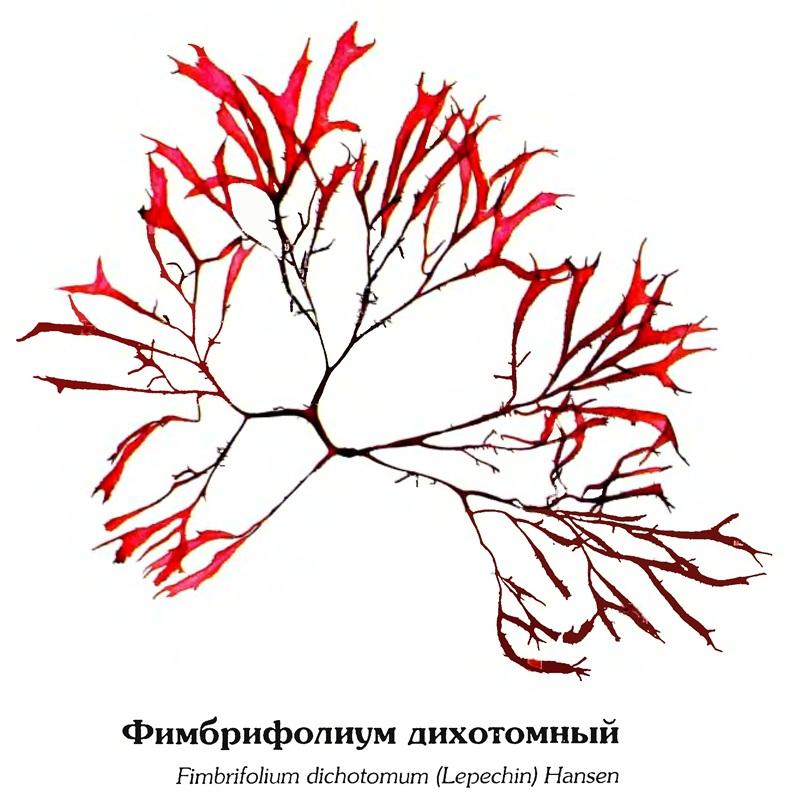 Фимбрифолиум дихотомный