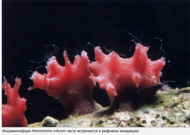Фораминифера Homotrema rubrum