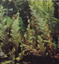 Фрагмент голладского аквариума, баркалайя длиннолистная