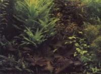 Фрагмент голладского аквариума, нимфея лотос в окружении групп растений