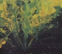 Фрагмент голладского аквариума, одиночное растение апоногетон широкоштопорный