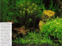 Гетерантера взморниколистная (Heteranthera zosterifolia)
