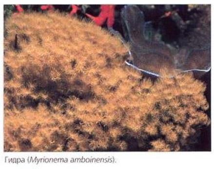 Гидра (Myrionema amboinensis)