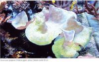Гигантская тридакна (Tridacna gigas)