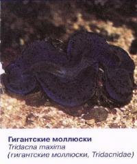 Гигантские моллюски