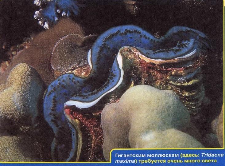 Гигатские моллюски