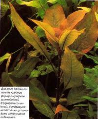 Гигрофила щитковидная (Hygrophila corumbosa)