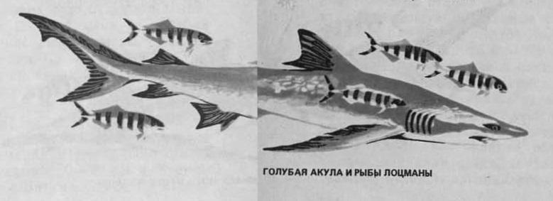Голубая акула и рыбы Лоцманы