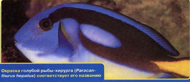 Голубая рыба-хирург