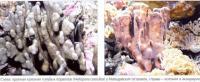 Голубые кораллы (Heliopora coerulea) d естественной среде и в аквариуме