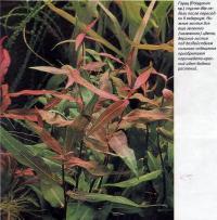 Горец (Polygonum sp.) спустя две недели после пересадки в аквариум