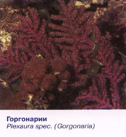 Горгонарии