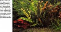 Горшочки с эхинодорусом нежным (Echinodorus tenellus)