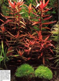 Гоуппа амманнии изящной (Ammannia gracilis)