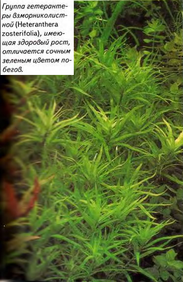 Гоуппа гетерантеры взморниколистной (Heteranthera zosterifolia)