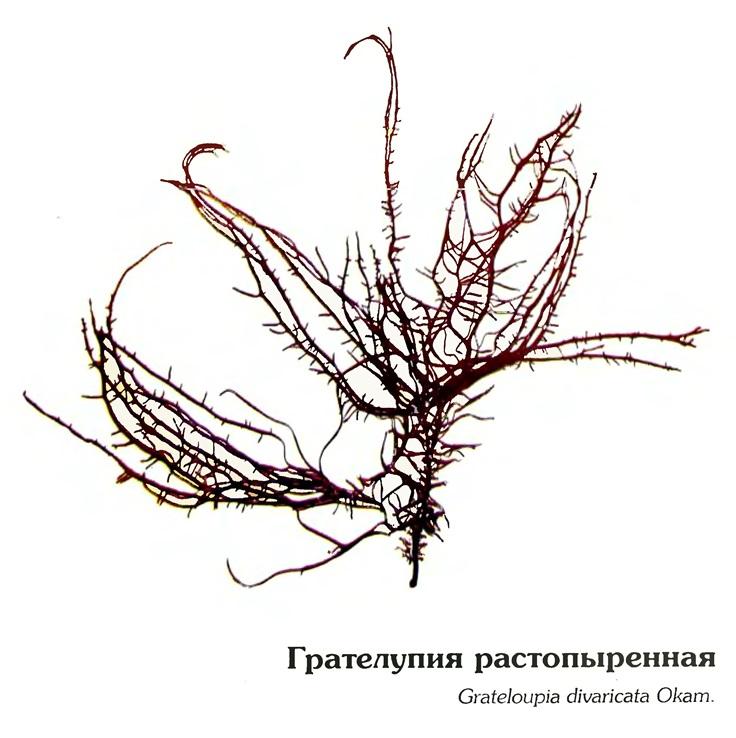Грателупия растопыренная