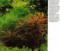 Группа амманнии изящной (Ammannia gracilis)