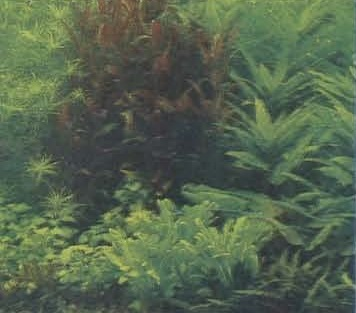 Группа лиловой альтернантеры среди зелени растений