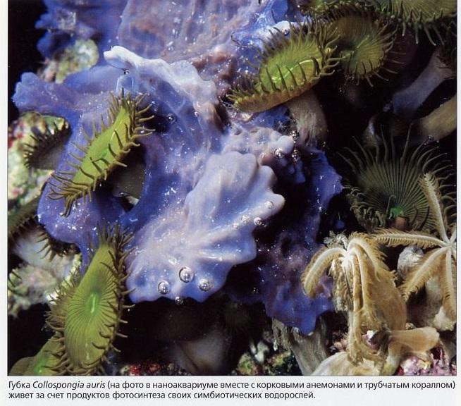 Губка Collospongia auris, корковый анемон и трубчатый коралл