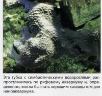 Губка с симбиотическими водорослями