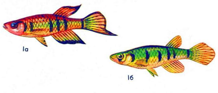 Хаплохилус шапера (а — самец, б — самка)