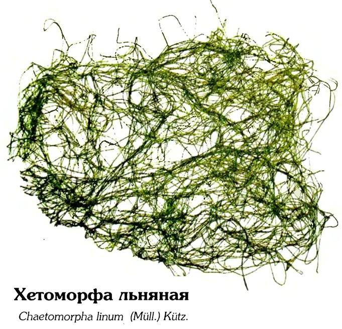 Хетоморфа льняная