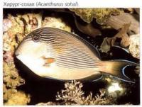 Хирург-сохал (Acanthurus sohal)